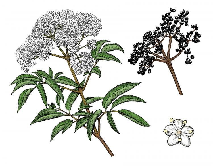 Common_Elderberry_Sambucus_canadensis