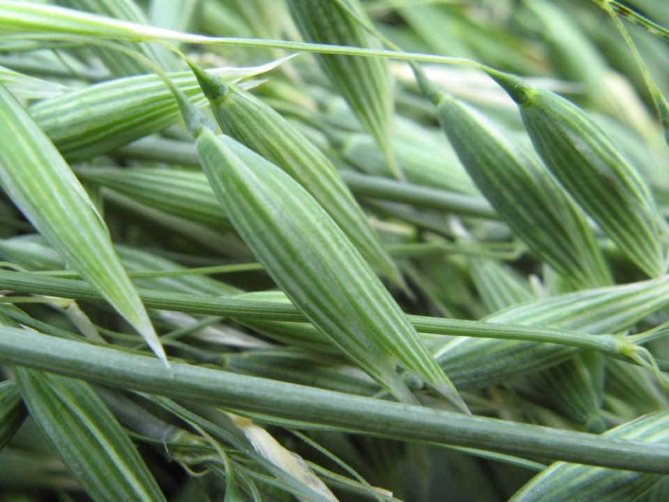 oat-avena-sativa