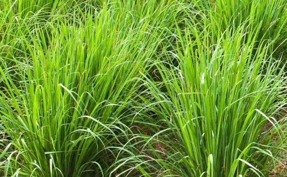 Palmarosa-Cultivation.
